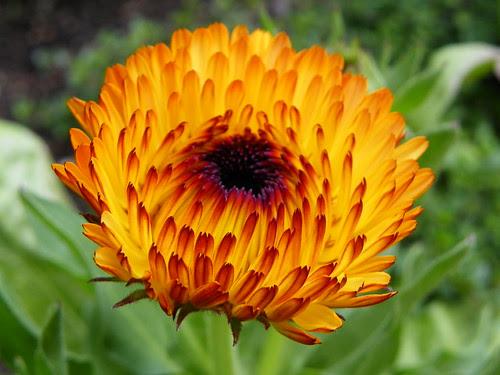 5.10.2009 Chicago Botanic Garden (17) flower