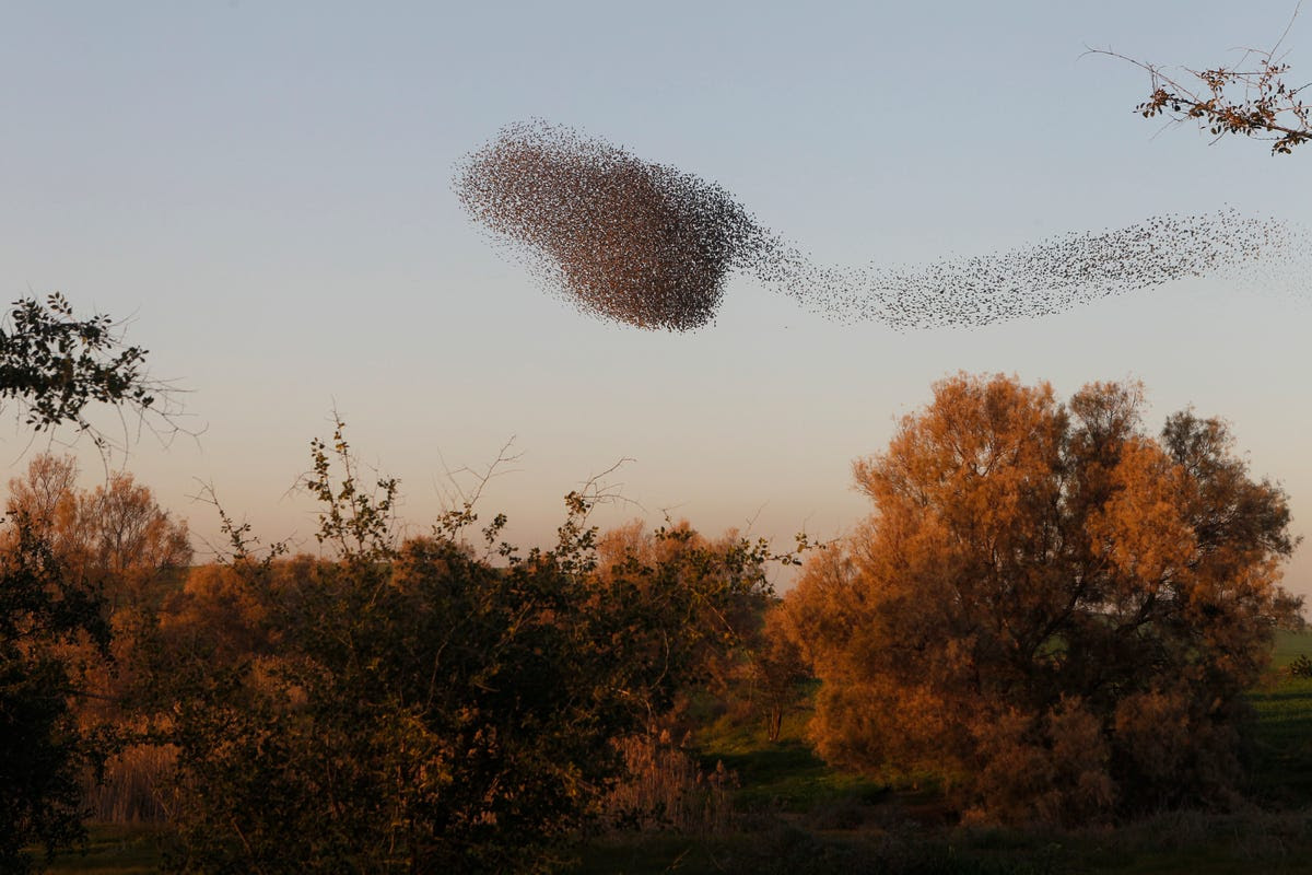 There are nearly 120 species of starlings, and they don't seem to mind mixing it up. In fact, starlings are famous for their gregarious nature. You can find multiple different species within the same murmuration.