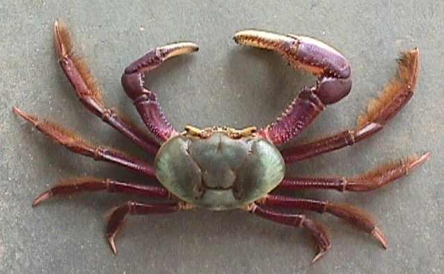 Resultado de imagem para tudo sobre caranguejo