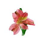 USA Bouquet Alstroemeria - Pink - 90 Stems