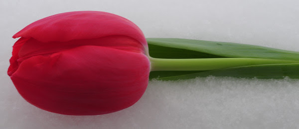 I sacrificed one tulip...