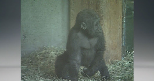 Woodland Park Zoo gorilla to give birth any day