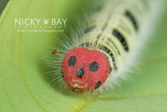 Common Awl larva (Hasora badra badra) - DSC_2199
