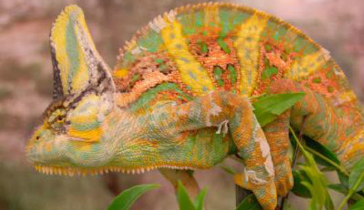 Stylish discourse: Researchers discover chameleons change colors to communicate