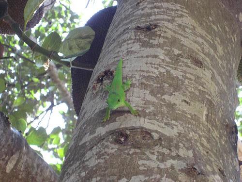 Nosy Komba lizard 1