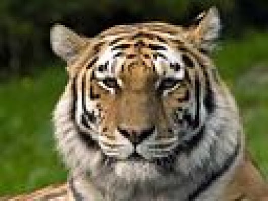 Westford Fifth Graders Organize Fundraiser to Save the Tigers | Patch