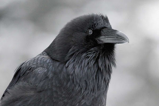 Ravens' fear of unseen snoopers hints they have a theory of mind