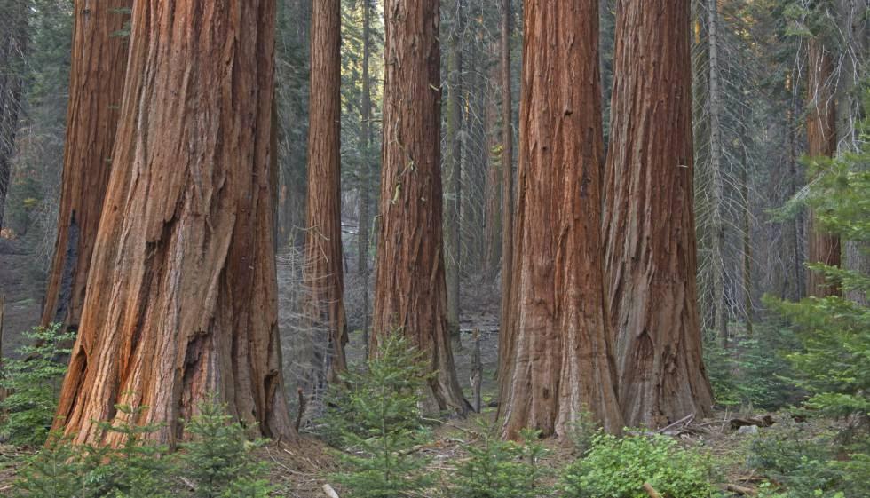Secuoyas gigantes, en el Parque Nacional de secuoyas de California.