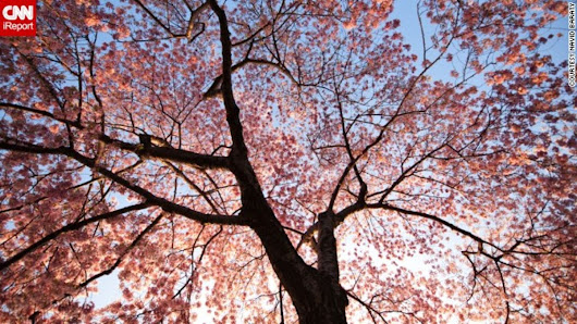 Cherry blossoms peaking soon in Washington