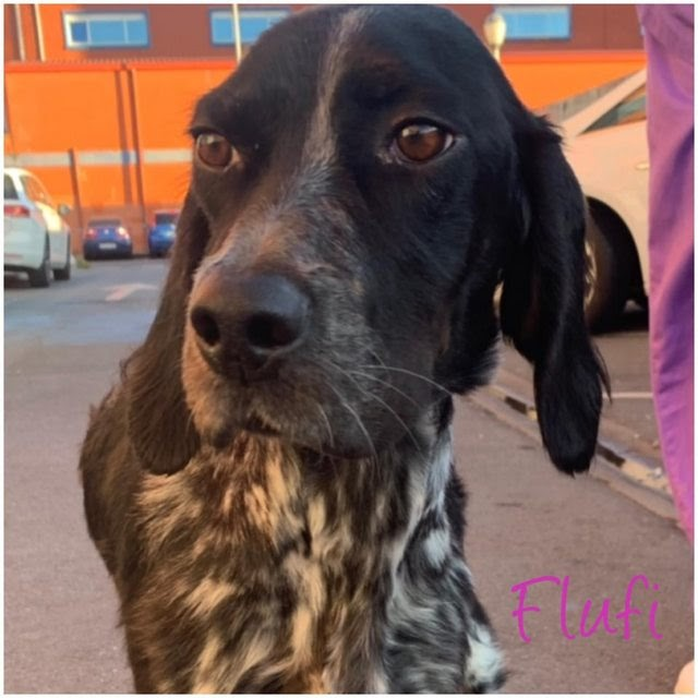 Flufi – 1 year old female English Setter
