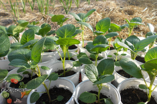 подойдет активным вырастить картофель из семян молодые