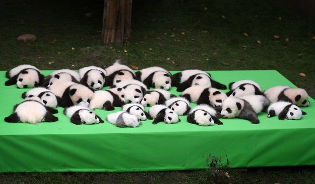 The cubs, who were being displayed at the Chengdu Research Base of Giant Panda Breeding in China, were born earlier this year.
