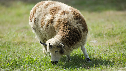 Sheep 6-30-2016 Wallpaper Background | Kicking Designs