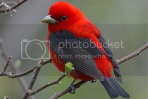 Scarlet Tanager Pictures, Images and Photos