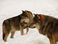 Wolves in Kolmarden