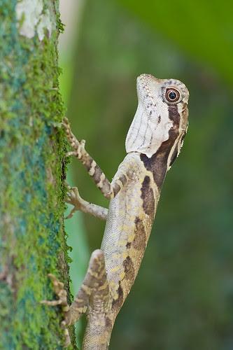 juvenile female angle head lizard Gonocephalus grandis IMG_8146 copy
