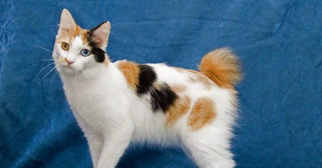 Japanese Bobtail | What cat breed can you relate to?