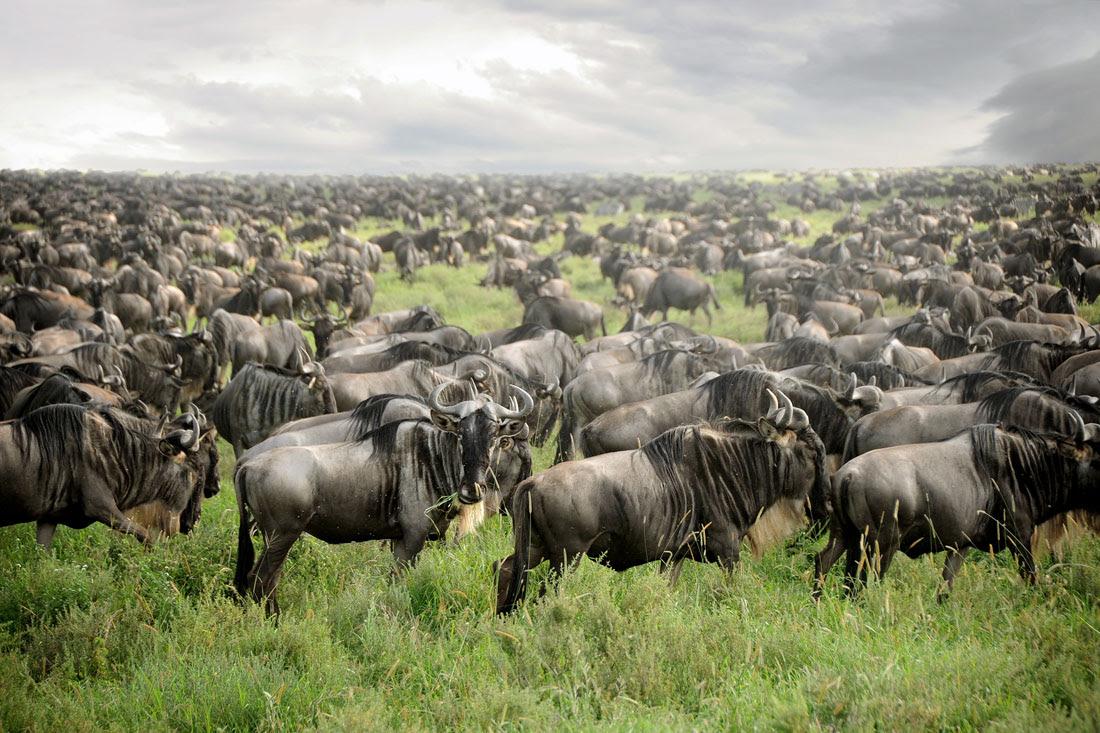 Migración de los ñúes. David Lazar