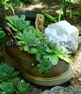hens and chickens succulent in a boot planter