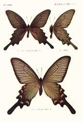 papill 3
