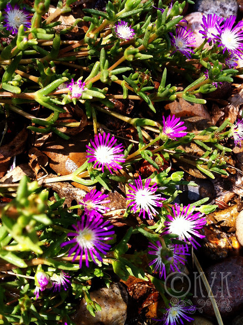 IMG_0537 Starburst Ice Plants
