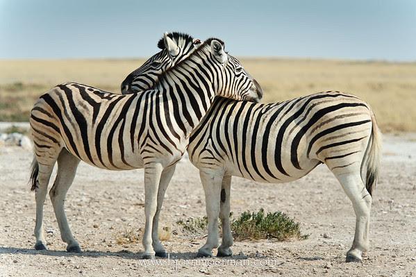 Zebras at Etosha-Rietfontein waterhole