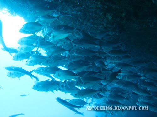 schoold of jackfish