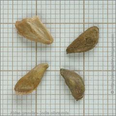 Abies grandis seeds - Jodła olbrzymia nasiona
