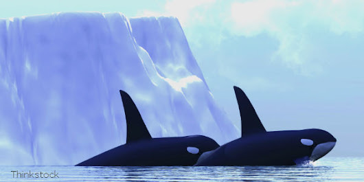 Russia, Stop Wild Orca Captures!  - The Petition Site