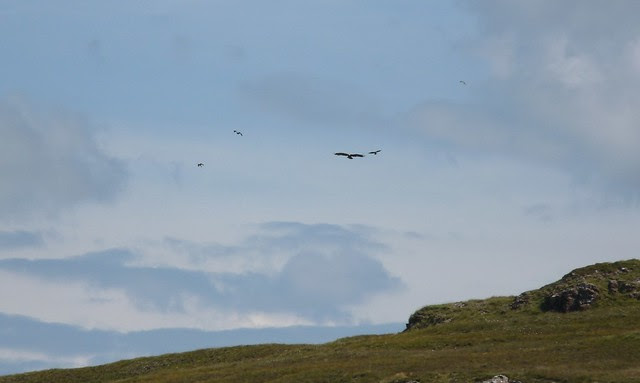 24678 - Golden Eagle, Isle of Mull
