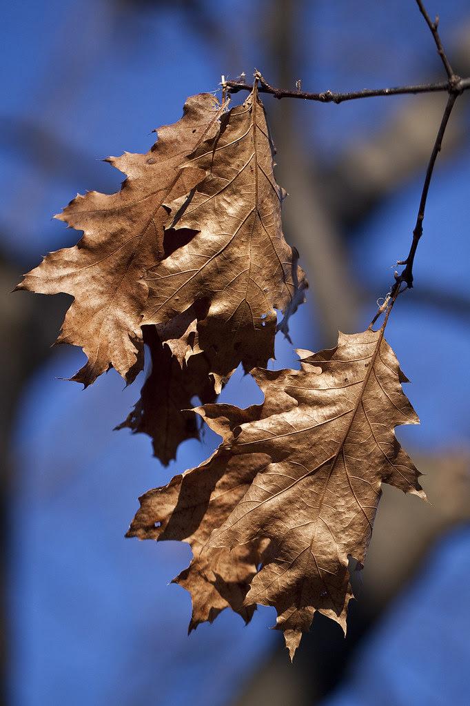 oak leaves in February