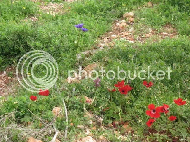 Israeli wild flowers 1