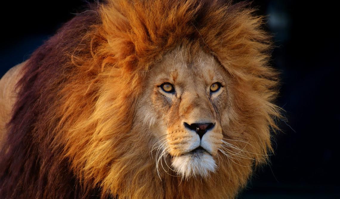 Free Photo Of Cool Lion Me Pixels