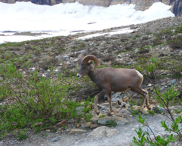 P1170026 Bighorn Sheep on Grinnel Glacier Viewpoint Trail