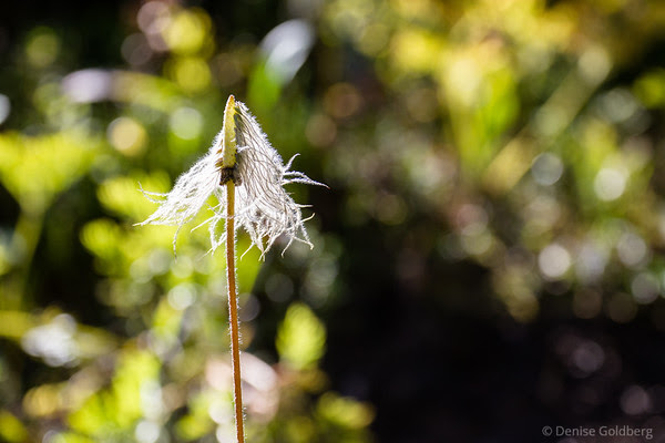 a wildflower gone to seed