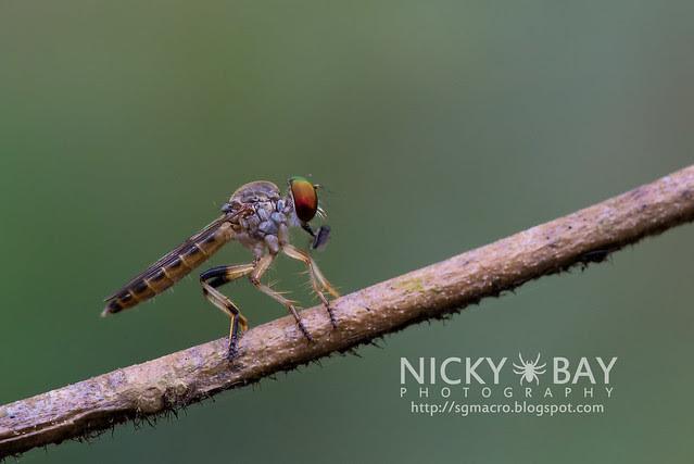 Robberfly (Asilidae) - DSC_0534