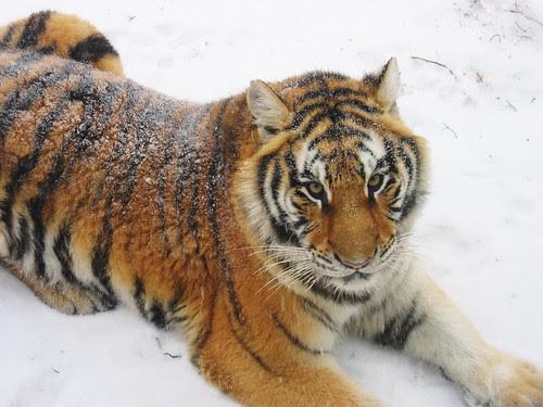 Siberian tiger, resting