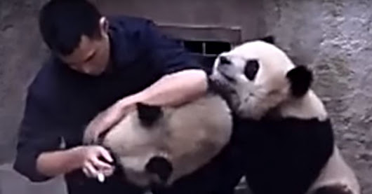 Watch these Baby Pandas cutely refuses to take medicines #CutenessOverload