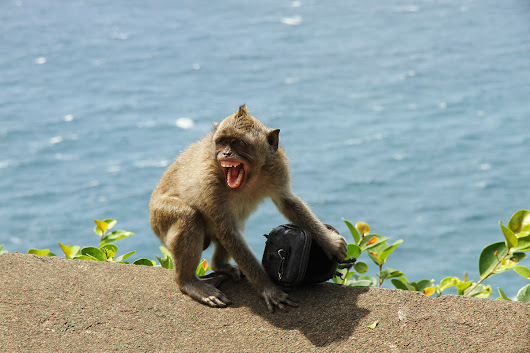 Monkey mafia steal your stuff, then sell it back for a cracker
