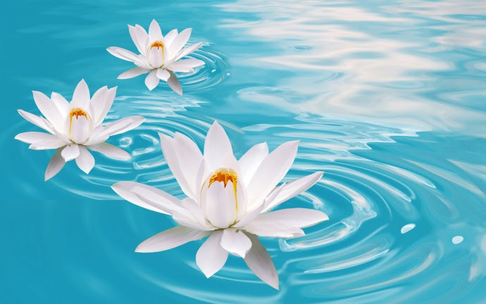 White Lotus in Water Flowers HD Wallpapers - White Lotus in Water