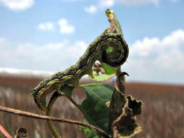Helicoverpa em planta de algodão não destruída em Mato Grosso (Foto: Wanderlei Dias Guerra/Mapa)