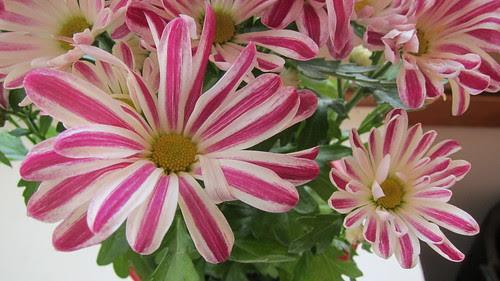 Chrysanthemum Indicum Grp Robinho