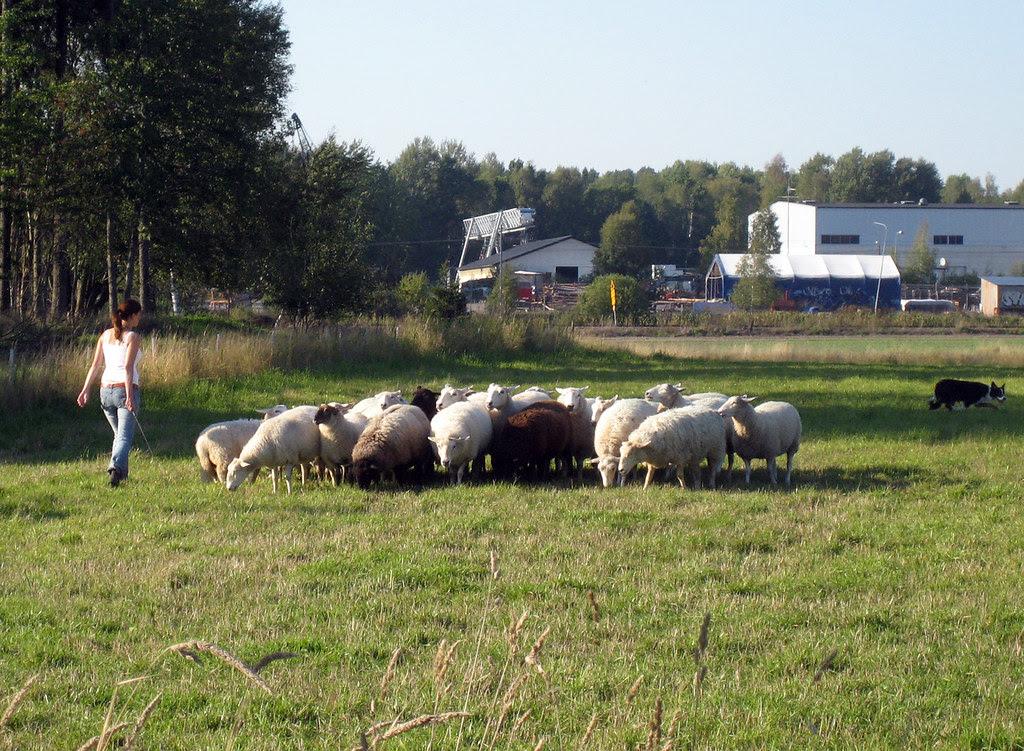 Sheepherding at Nedersta