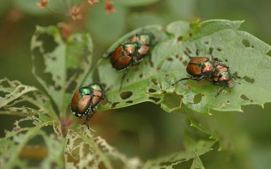 Threat of voracious Japanese beetles persists