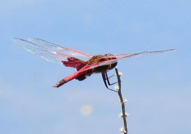 carolina saddlebags dragonfly
