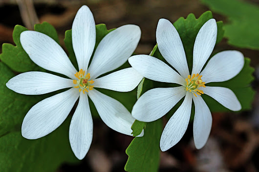 Bloodroot by Debbie Oppermann