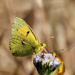 The Clouded Yellow Butterfly - Oretani Wildlife