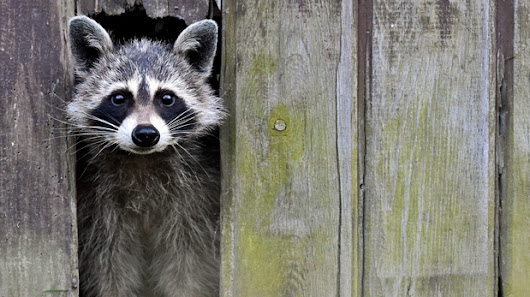 Toronto's raccoons in the spotlight in new BBC Planet Earth episode