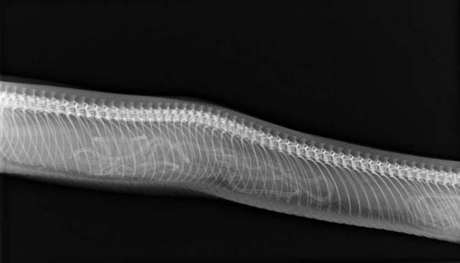 Ultrasonidos animales serpiente gestación