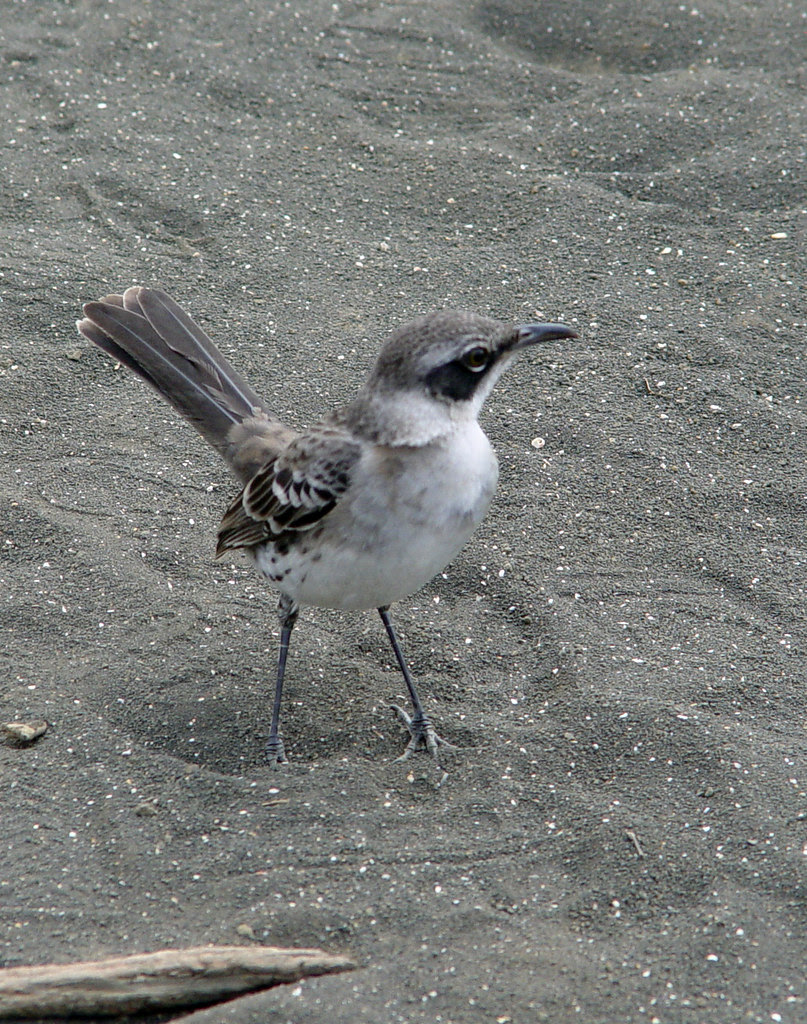 DSC00854 Galápagos mockingbird cropped